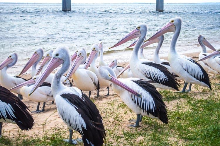 Pelican feeding san remo