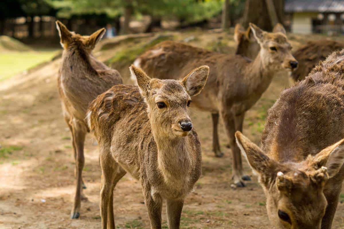 Nara deer park - where to go in Japan with kids
