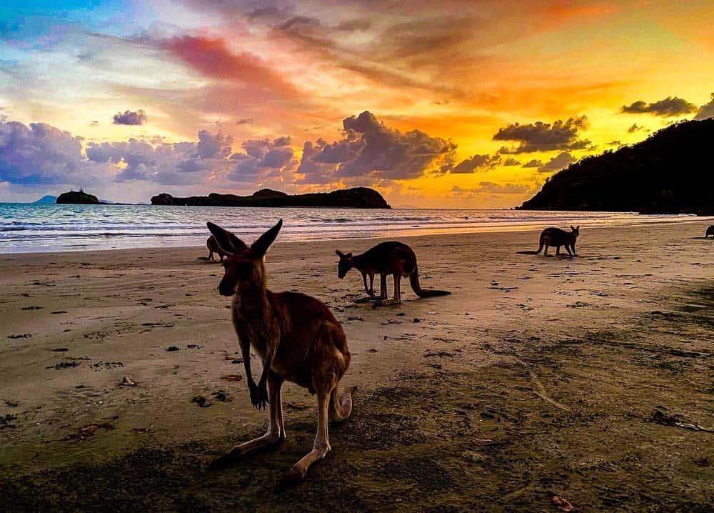 Kangaroos at Cape Hillsborough - best things to do in Mackay